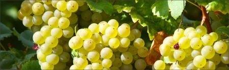 Ricetta aspic di uva