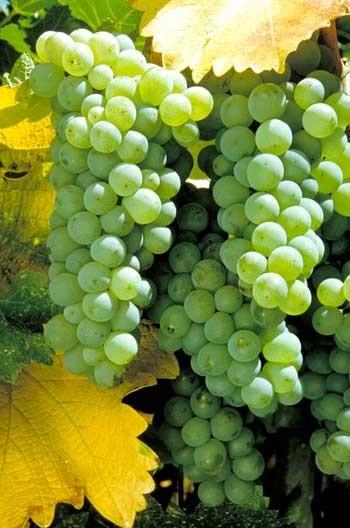 Ricetta gelatine di uva alla grappa