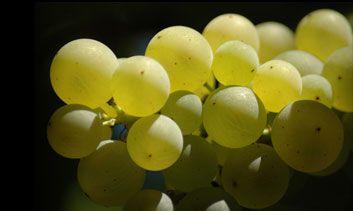 Ricetta sorbetto di uva bianca