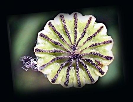 Ricetta bastoncini ai semi di papavero