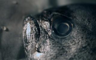 Ricetta pesce castagna al forno